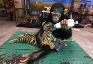monkey.tiger