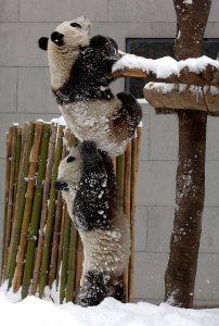 pandas helping
