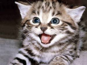 6443-cats-grey-kitten-excited